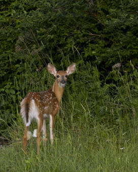 White Tail Deer, Iron County, Michigan